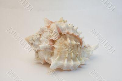 Sea shell 02