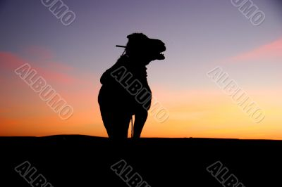 camel silhouette at sunrise in the sahara