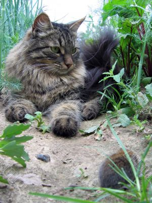 Syberian cat hunting little mouse