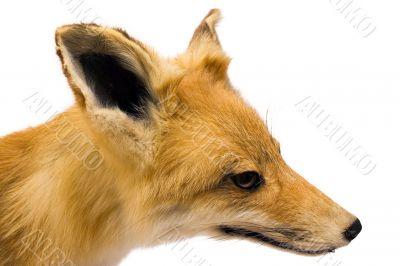 Fox - Side View