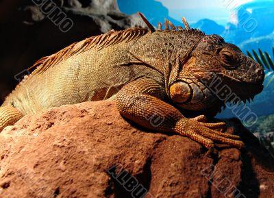 Ancient lizard