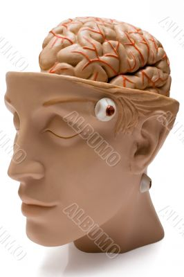 Human Brain - Front Side View