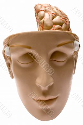 Human Brain w/ Path - Front View