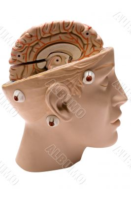 Human Brain - Side View