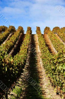 grape vines at vineyard - portrait