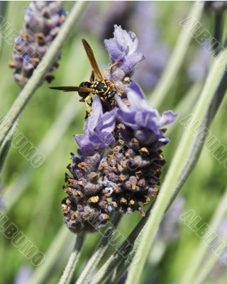 Wasp and lavender