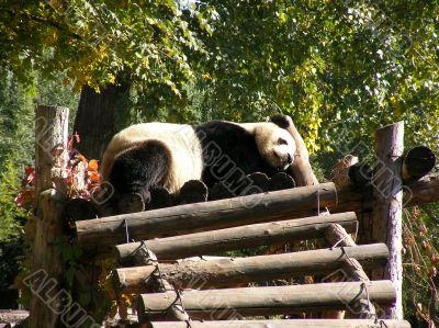 Giant Panda in Beijing