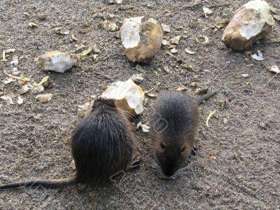Beavers eating