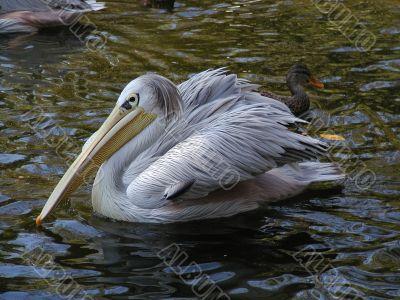 Pelican in Wild Animal Park