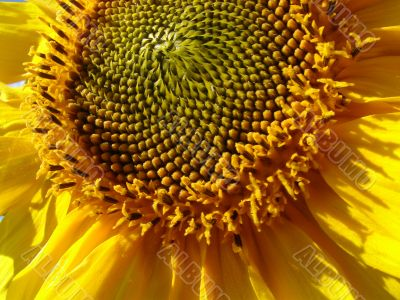 Yellow sunflowers blossoming flowers