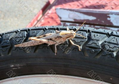 Grasshopper on Car tire tread