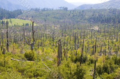 Burnt down forest  Yosemite National Park