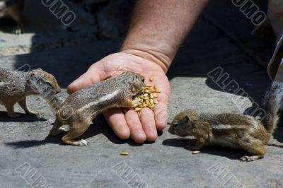 Feeding domesticated chipmunks
