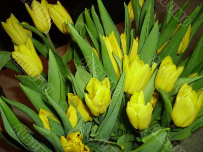 The bouquet of yellow tulips