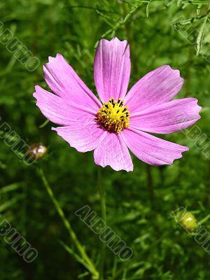 lilac camomile