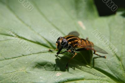 Big-eyed striped fly sitting on the green leaf in spring