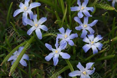 Scilla sibirica shining flowers