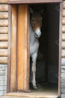 Brown-white horse is looking out of the doorway