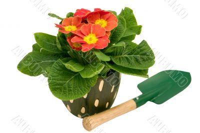 Primrose with spade