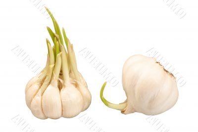 Two bulbs of sprouting garlic