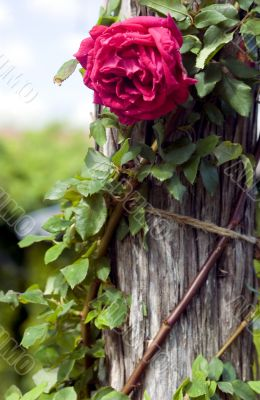 Rose on stump