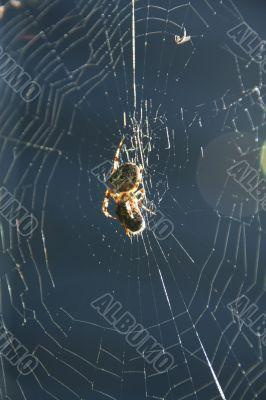 Backlit spider in garden web