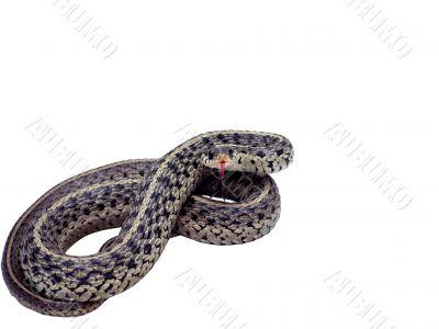 garter snake isolated