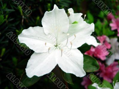 azalea bush flower macro