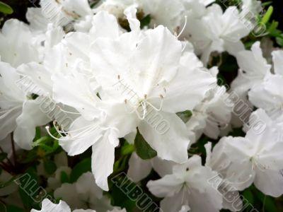 azalea bush flowers macro