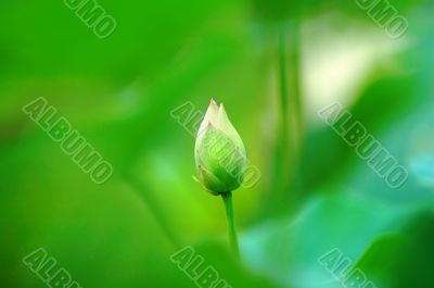 Abstract green of lotus bud