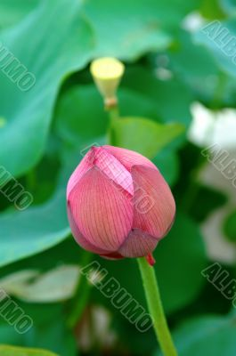Lotus bud and seed