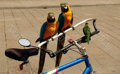 Parrots on a Bike