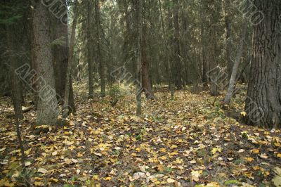 Autumn leaves on spruce forest floor