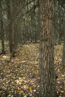 Engelmann spruce tree trunk