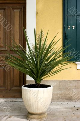 Large potted yucca