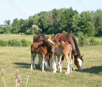 Grooming Clydesdales