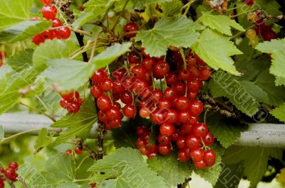 The red currant hangs on a branch