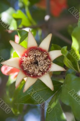 Pomegranate beginnings