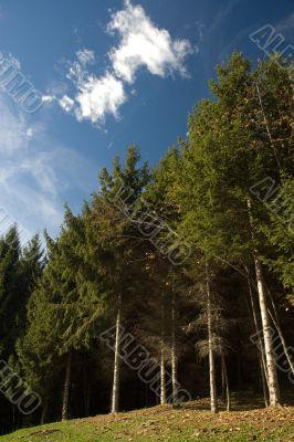 Sunny pine woods