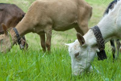 domestic goats parturing in meadow