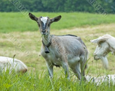 little domestic goat in meadow