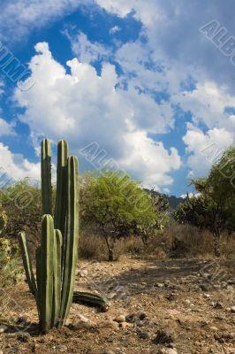 Organ Cactus portrait