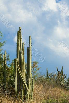 High organ pipe cactus