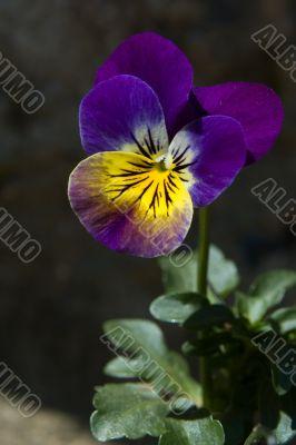 Vivid wild violet pansy flower