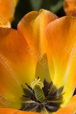 Flaming Tulip detail