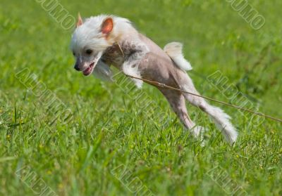 Chinese crested dog puppy playing