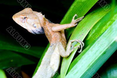 Tropical Rainforest Monitor Lizard