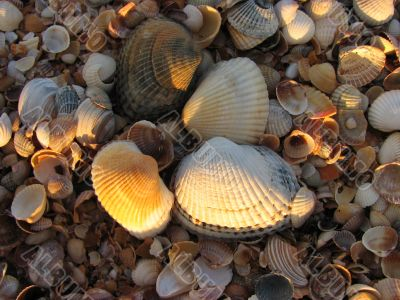 Cockle-shell, Azov sea coast