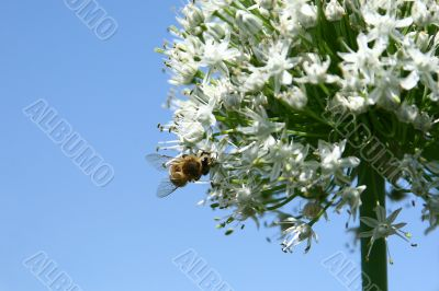 Working bee on onion inflorescence