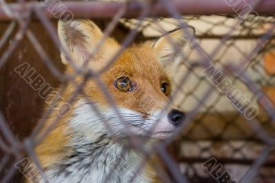 Fox in the cage